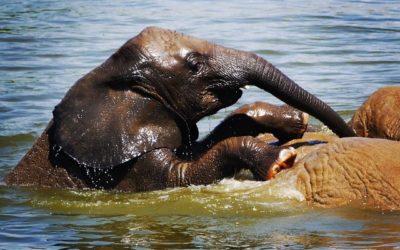 L'éléphanteau de #Beauval en plein cours de natation