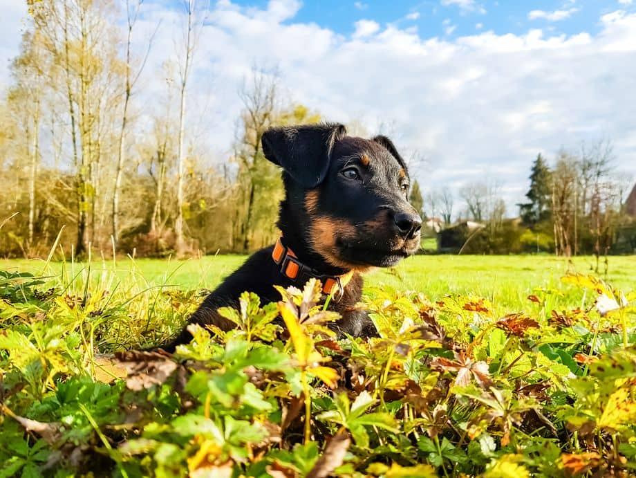 Chiot beauceron dans l'herbe